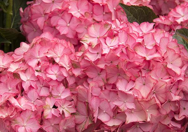 Seaside Serenade Hydrangea 'Hamptons' Roger's Gardens