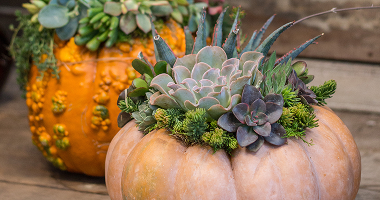 Succulent Pumpkin Workshop Fall Workshops Roger's Gardens Newport Beach