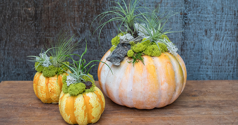 An image of the Tillandsia Pumpkin Workshop prototype at Roger's Gardens with green tillandsias on top of orange pumpkins
