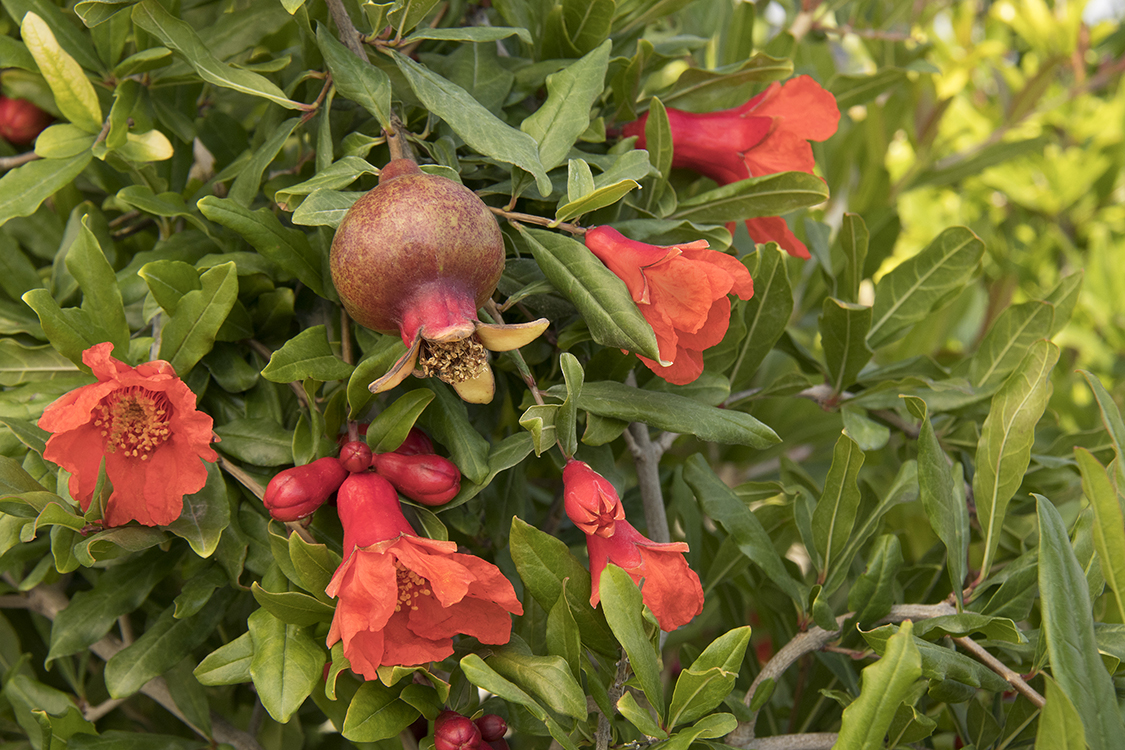 Angel Red Pomegranate Fruit Roger's Garden Monrovia Newport beach