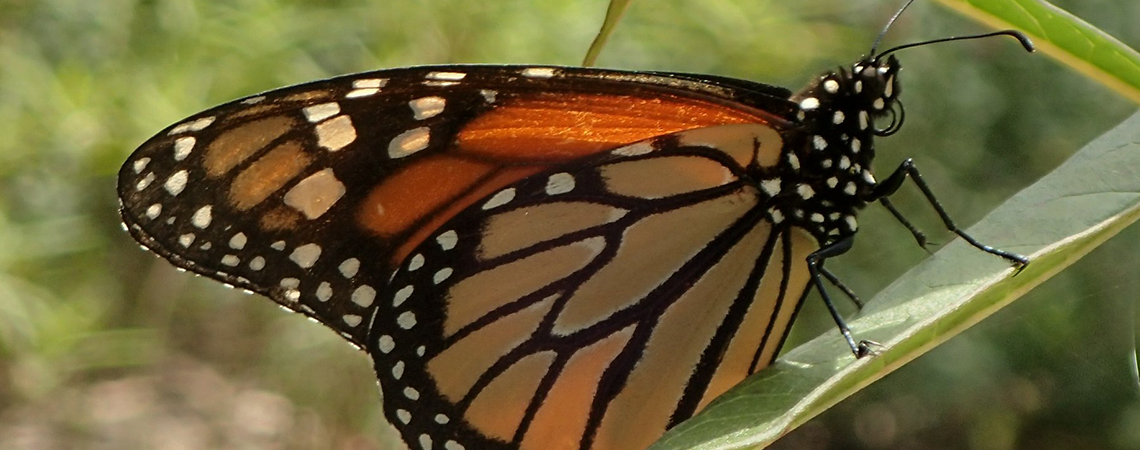 An image of a orange, black and white spotted Monarch butterfly