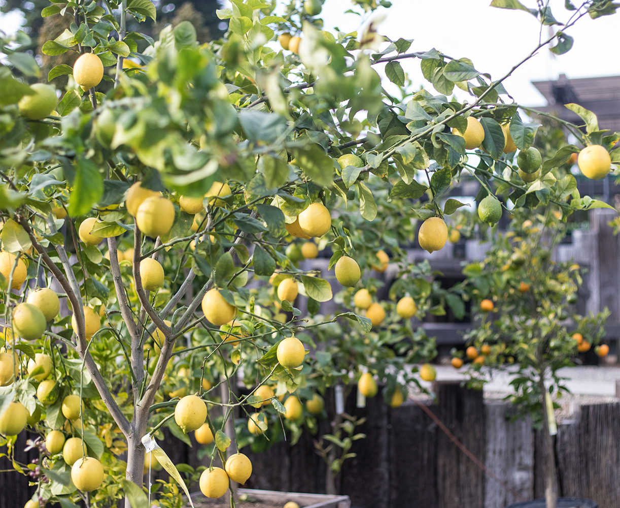 An image of a lemon tree