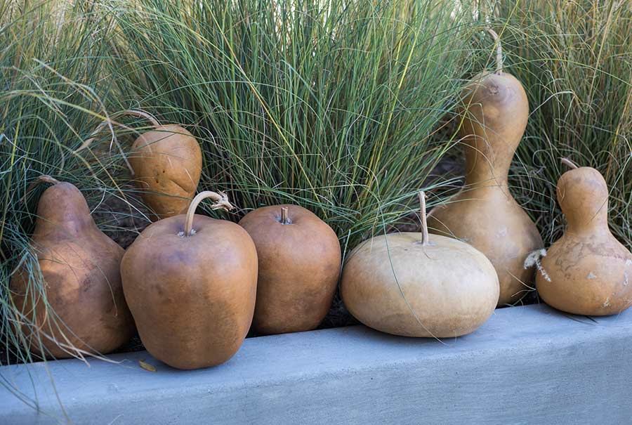 An image of tan dried gourds in a variety of shapes and sizes