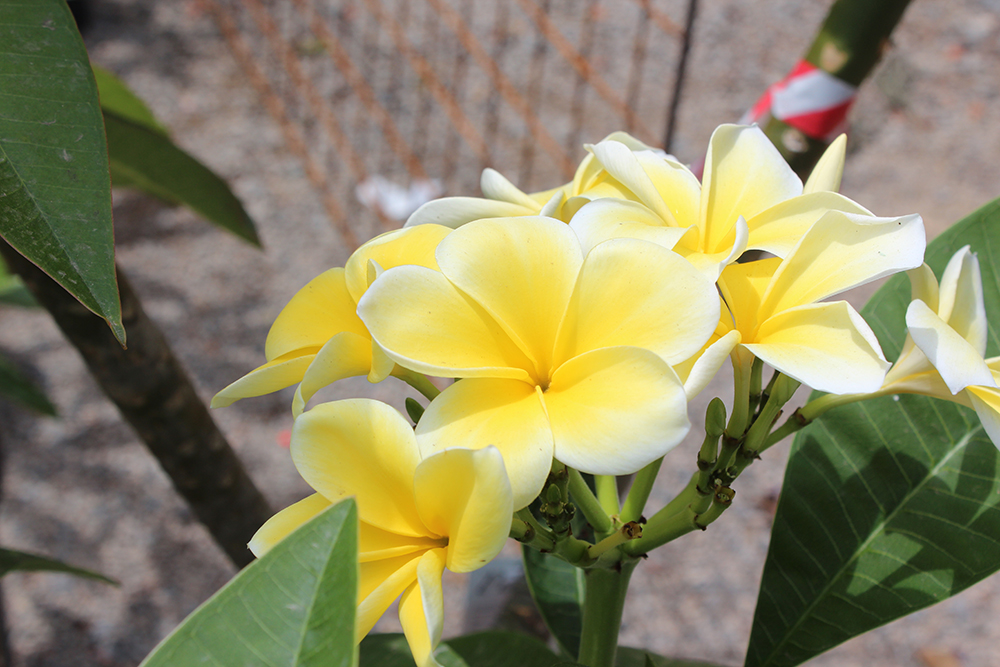 An image of yellow Plumerias