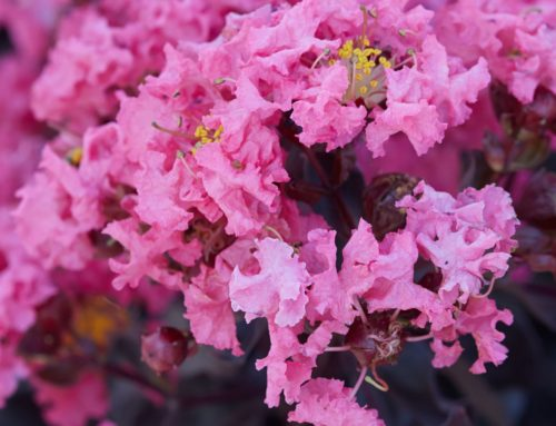 Black Diamond Shell Pink Crape Myrtle