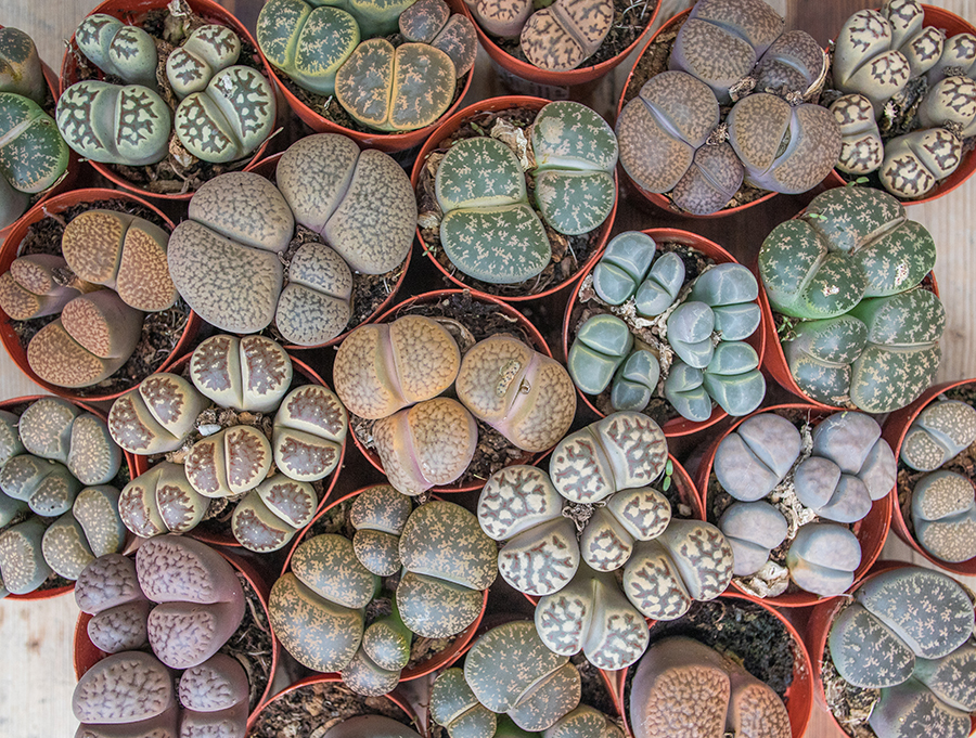 An image of lithops succulent living stone plants or lithops, that are shades of browns, blues and greens, looking like small brains