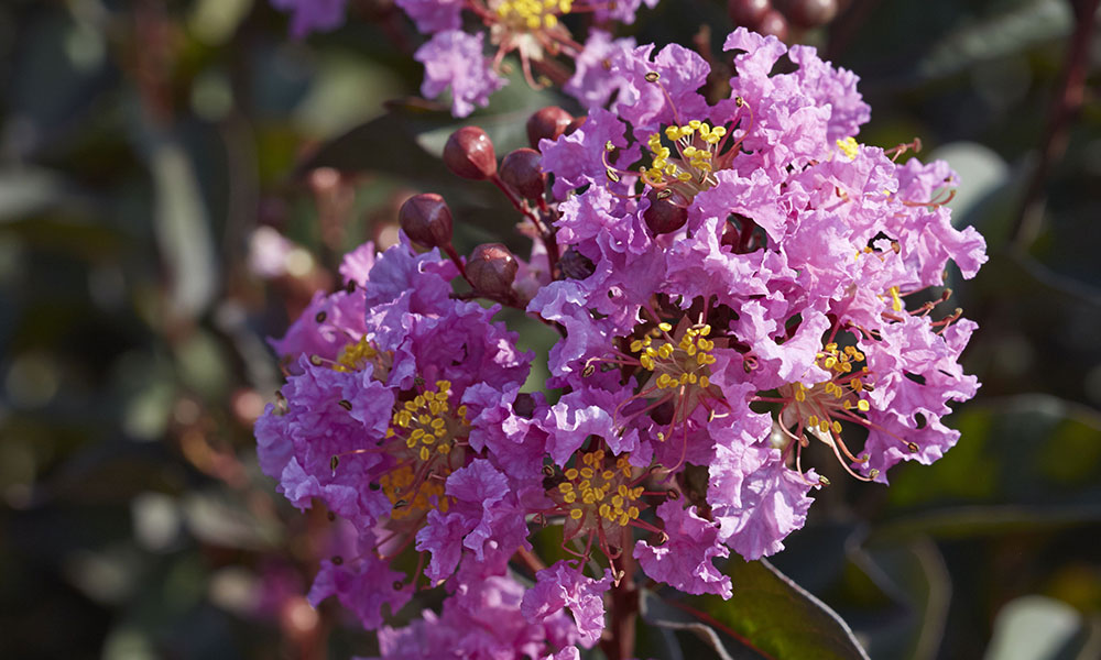 An image of pink lavender black diamond lace crape myrtle