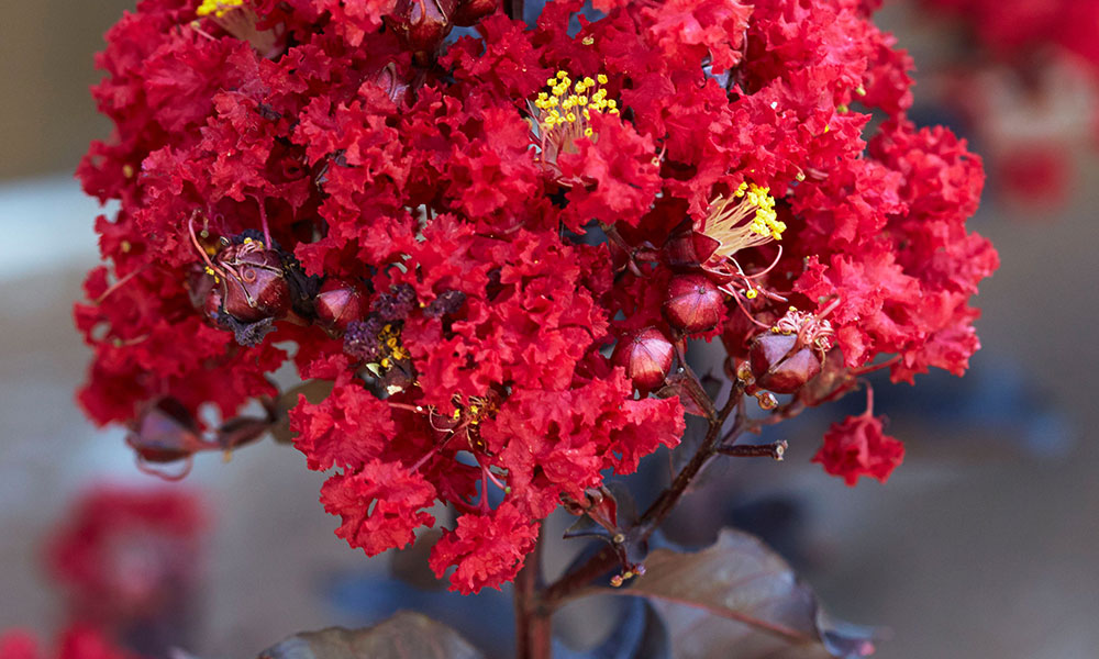 An image of red black diamond hot crape myrtle
