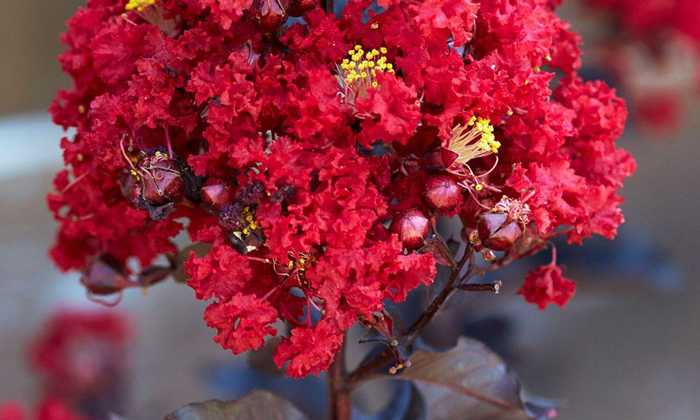 An image of red black diamond hot crape myrtle
