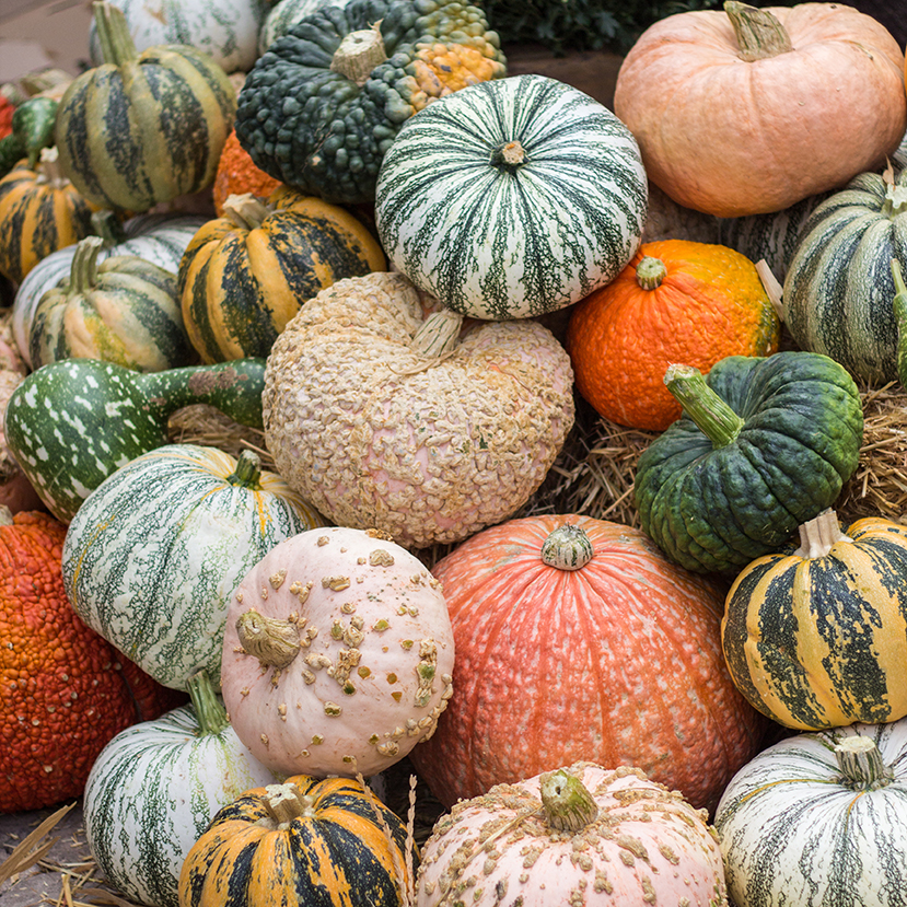 An image of a variety of pumpkins and specialty squash in all different colors and shapes