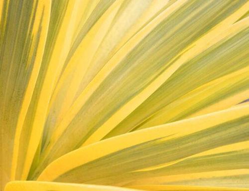Bright Star Yucca