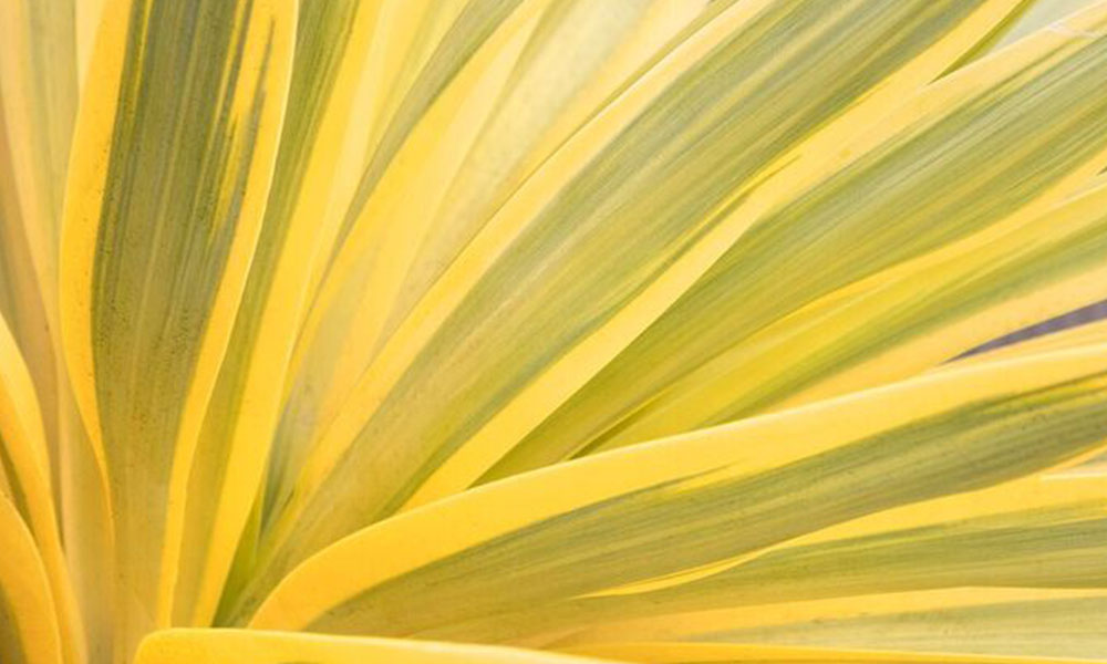An image of a yellow yucca