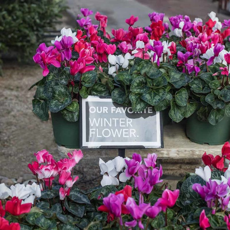 An image of Cyclamen plants in colors of white, pink and red