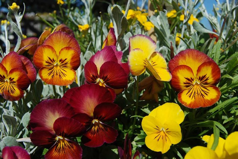 An image of fall colored pansies and viola flowers.