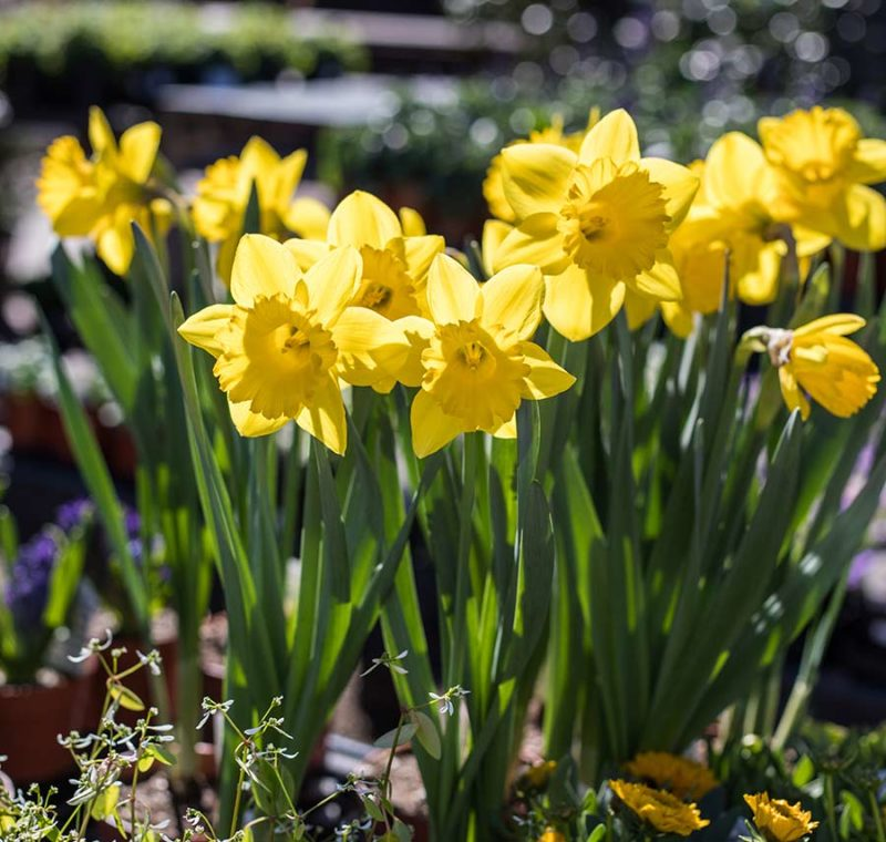 An image of bright yellow Daffodil flowers that were planted as bulbs in the winter