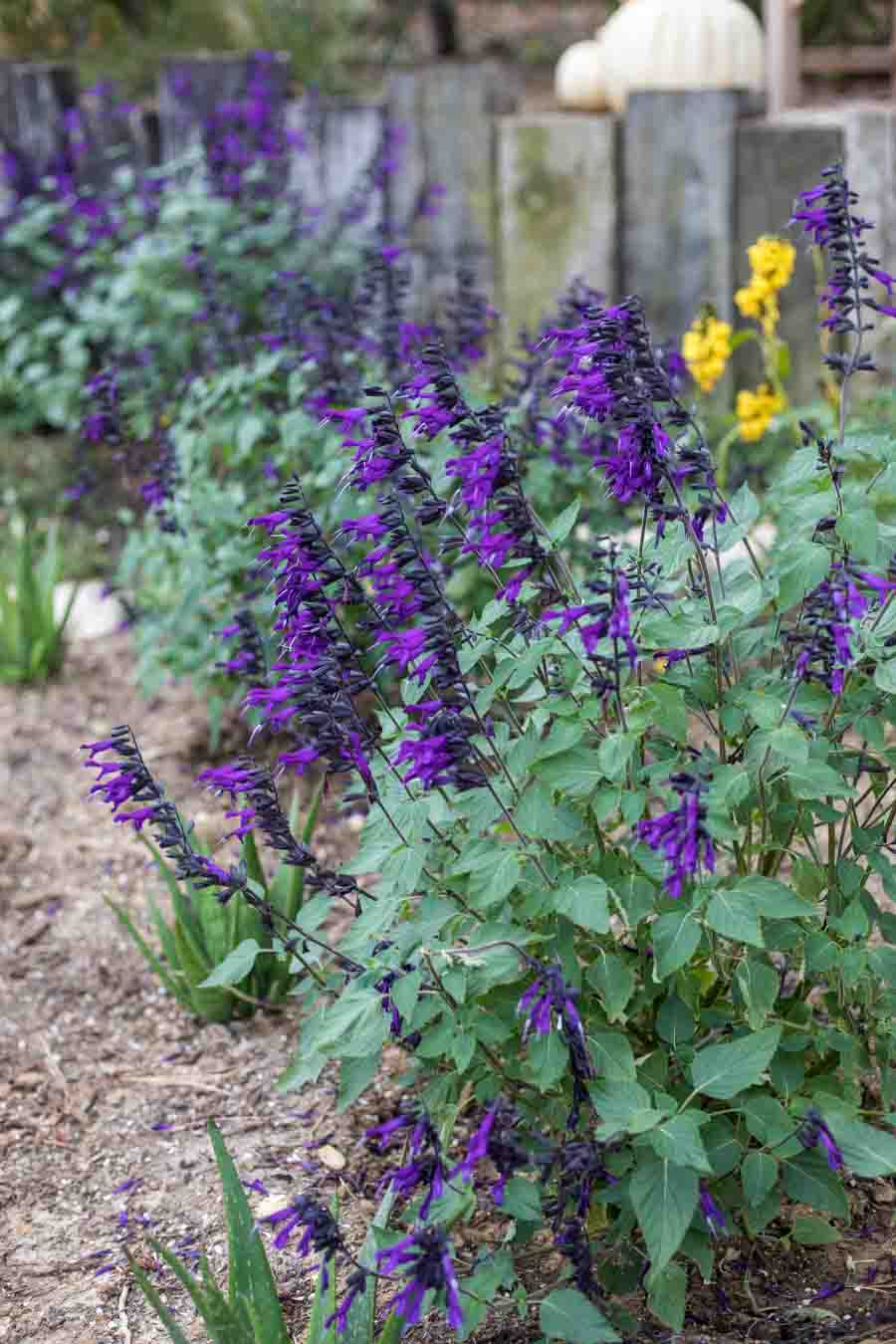 An image of Salvia or Sage plants with purple flowers and green foliage