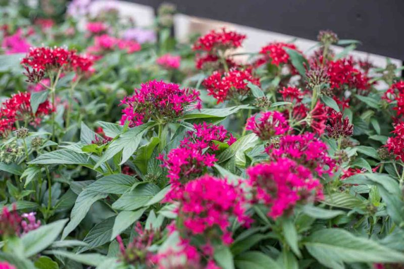 An image of pink and red Pentas plants