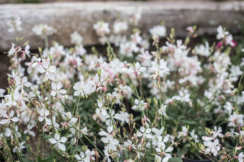 An image of white and pink gaura flowers