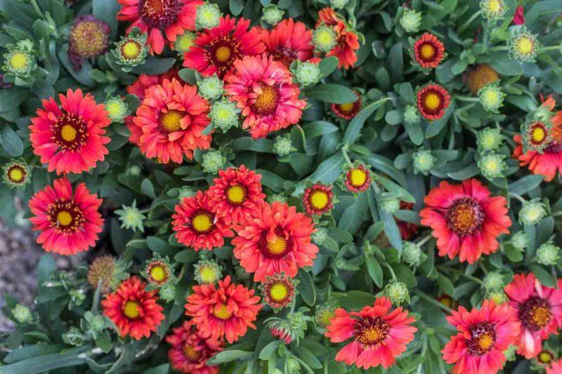An image of vivid red Gaillardia flowers