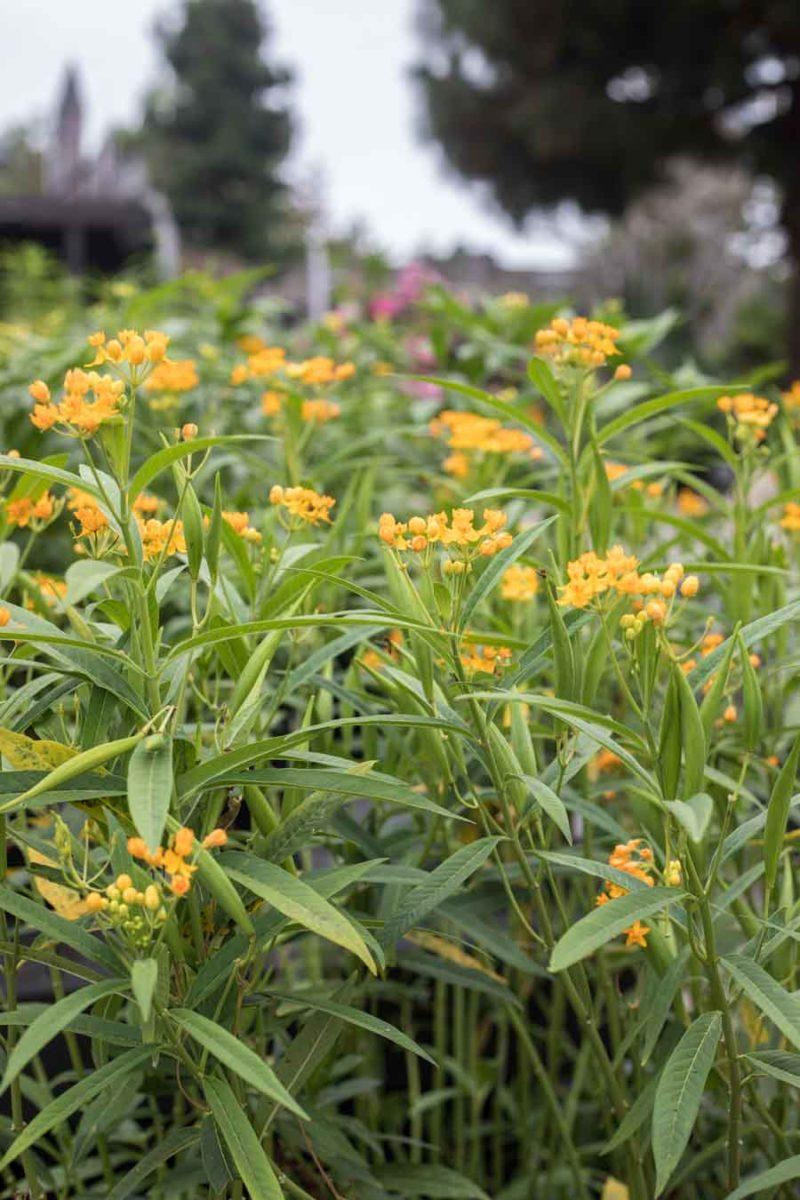 An image of exotic milkweed