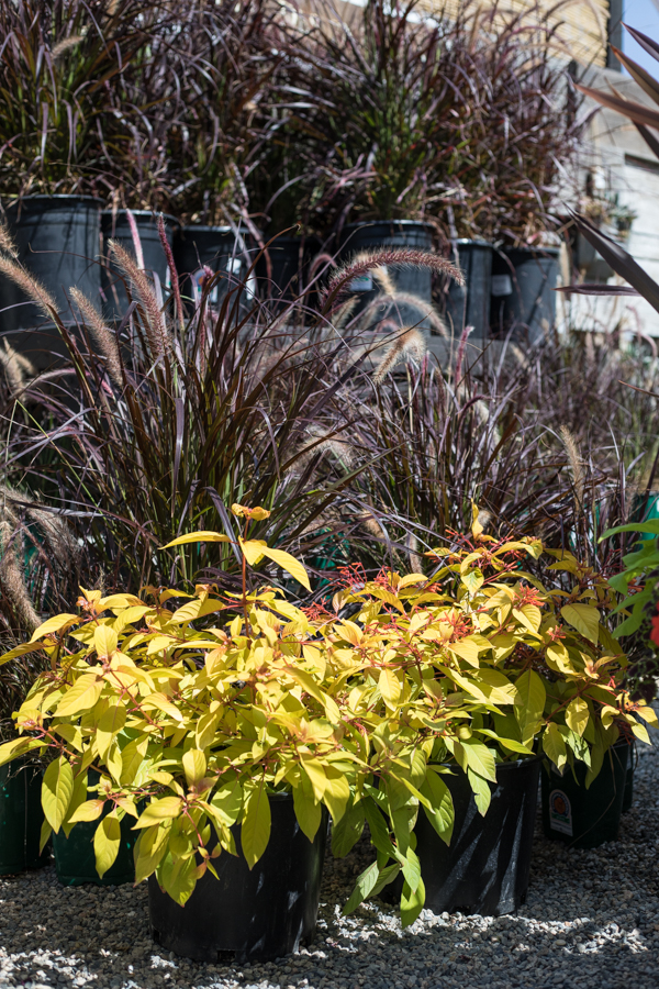 An image of the plant Lime Sizzler that has bright yellow leaves and red flowers.