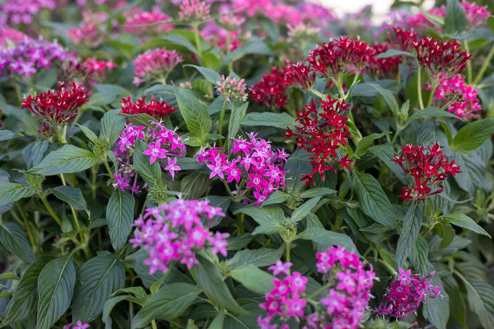 An image of flowering Pentas plant also known as a Star Flower in shades of pinks and reds