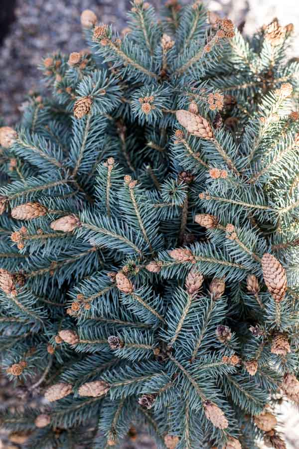 An image of a potted Christmas tree plant with pinecones