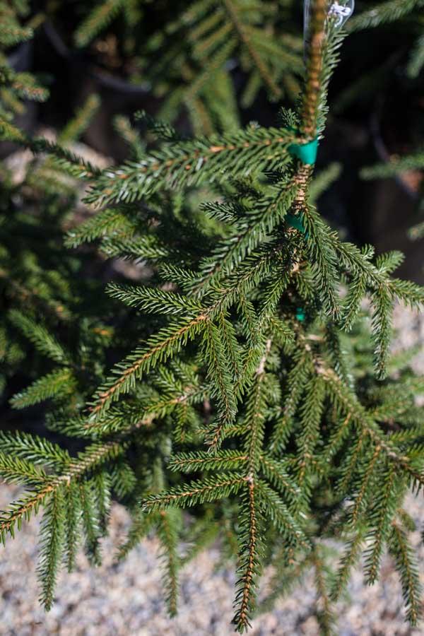 An image of a fir pine tree