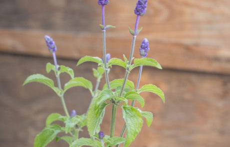 An image of purple Salvia 'Mystic Spires Blue'