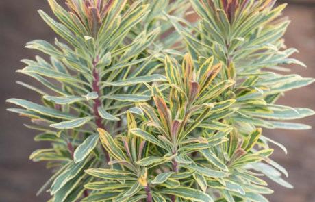An image of Euphorbia 'Ascot Rainbow'