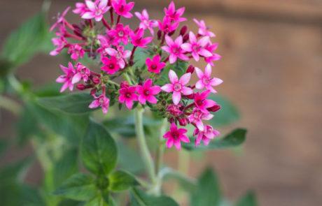 An image of pink Pentas