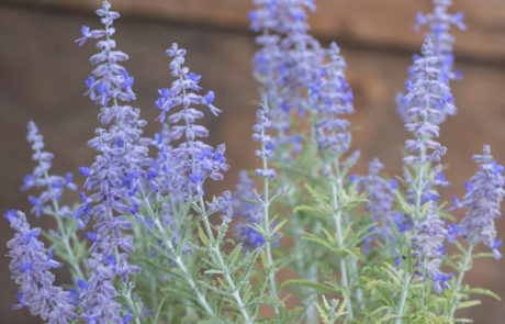 An image of blue violet Perovskia 'Russian Sage'