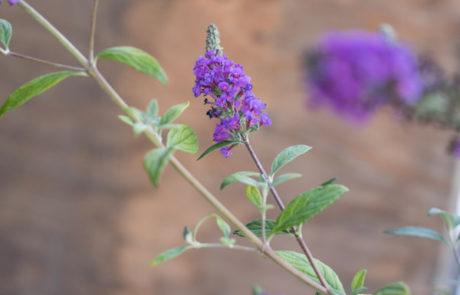 An image of purple Buddleja