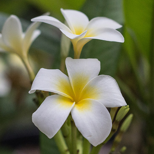 An image of a white heaven Plumeria