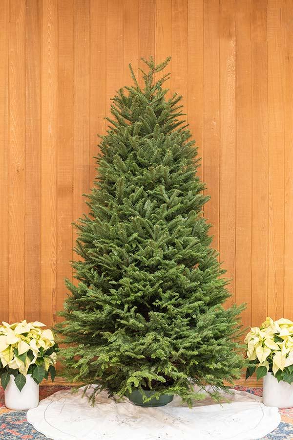 An image of a fresh cut noble fir Christmas tree