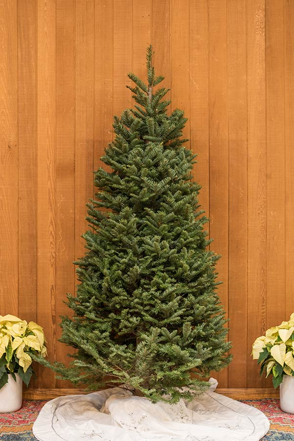 An image of a fresh cut Nordmann Fir Christmas tree