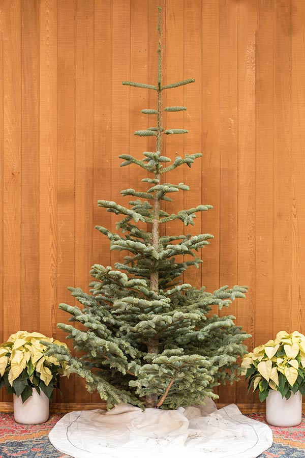 An image of a fresh cut silvertip Christmas tree