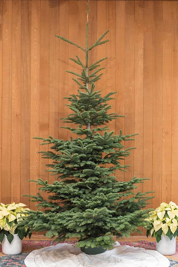 An image of a fresh cut wild noble fir Christmas tree