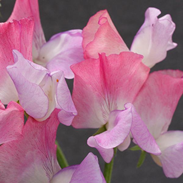 An image of white pink purple Enchante Sweet Peas