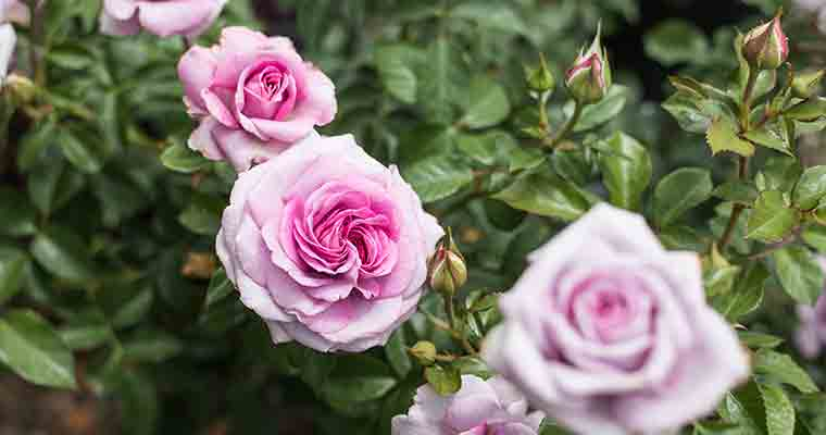 An image of pink roses for the Rose Pruning Seminar