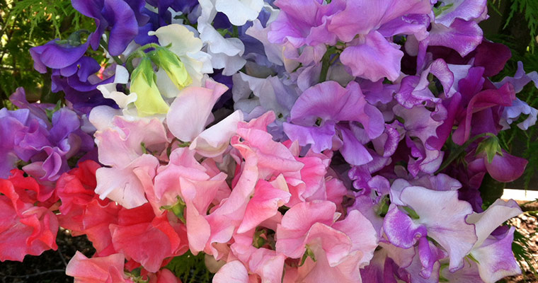An image of various colored sweet peas