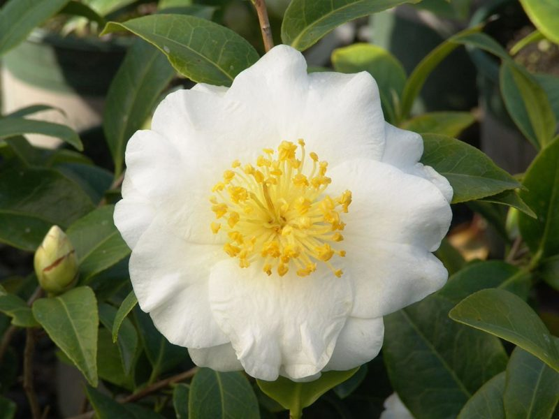An image of silver waves camellia