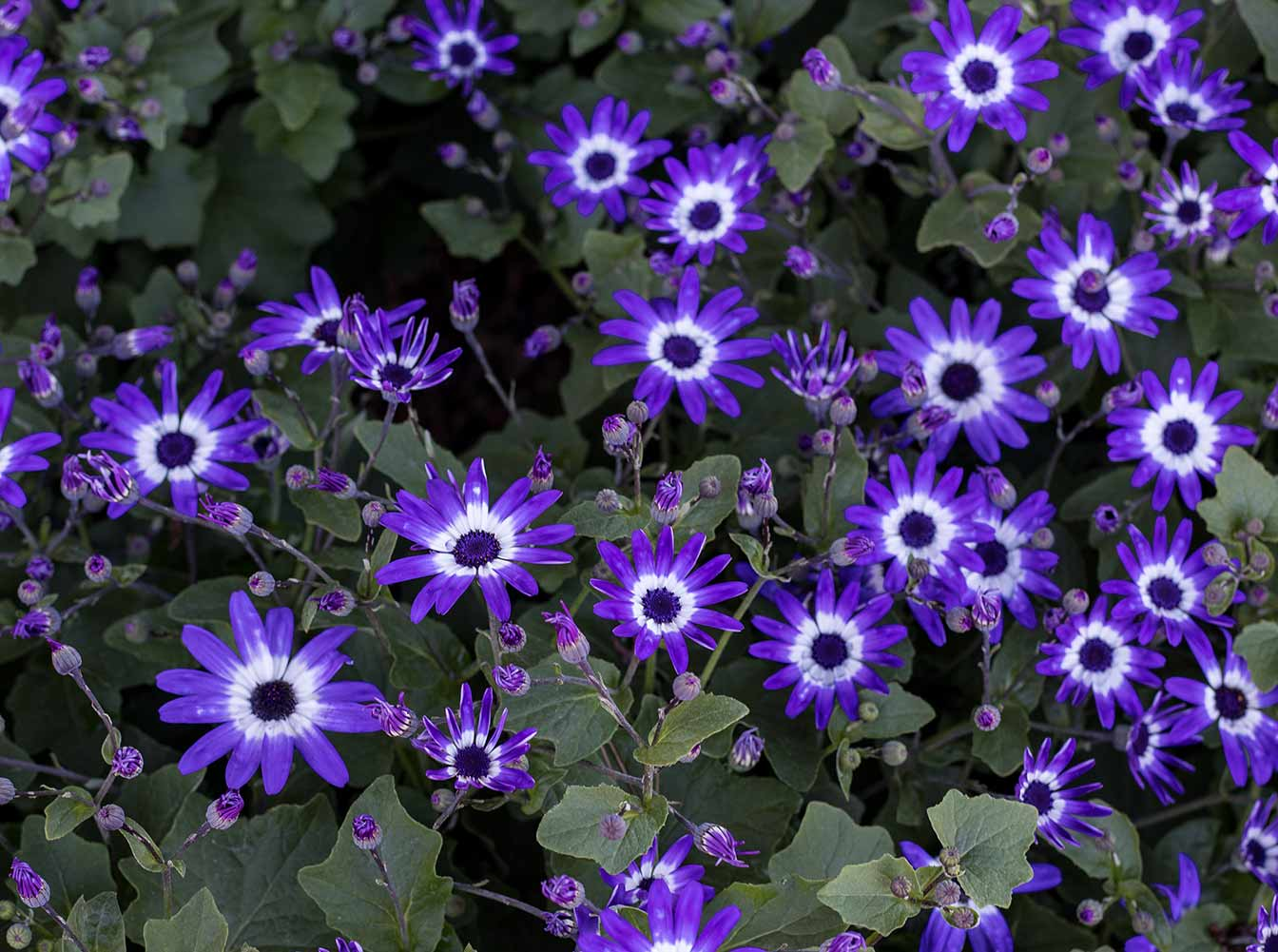 An image of purple daisies