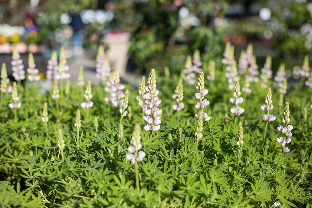 An image of light pink Lupines