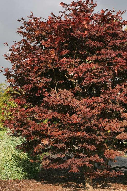 An image of a red Fireglow Japanese Maple