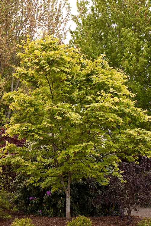 An image of a yellow green Osakazuki Japanese Maple