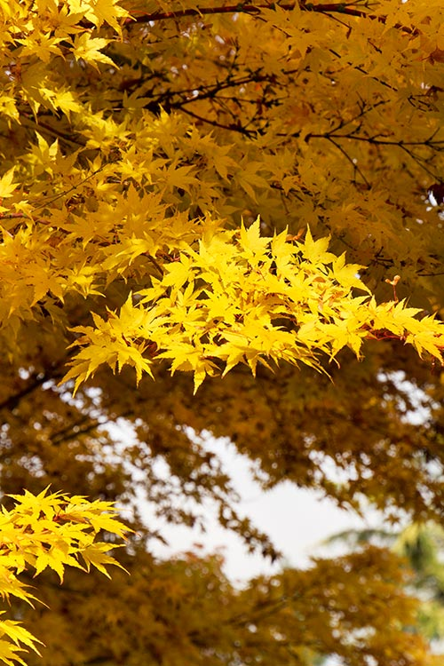 An image of a yellow Sangokaku Japanese Maple
