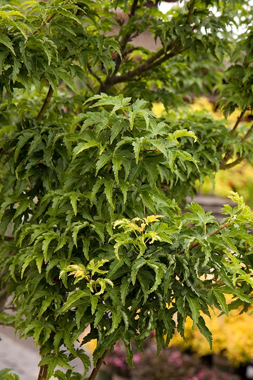 An image of a green Shishigashira Japanese Maple