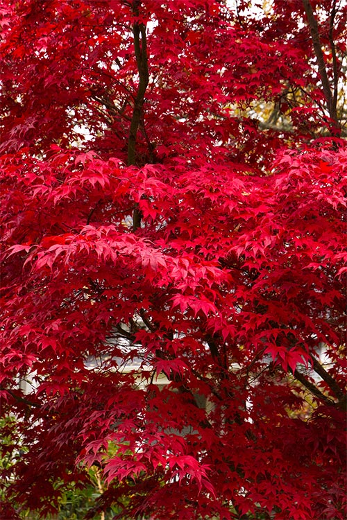 An image of a red bloodgold Japanese Maple