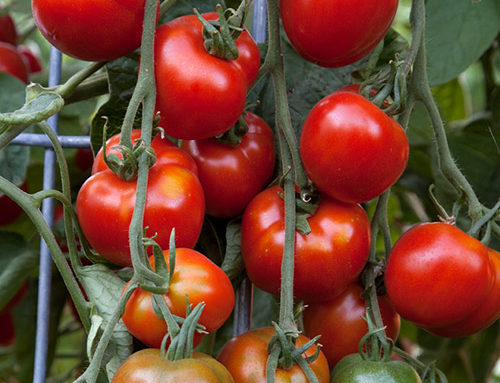 Extending Your Tomato Growing Season